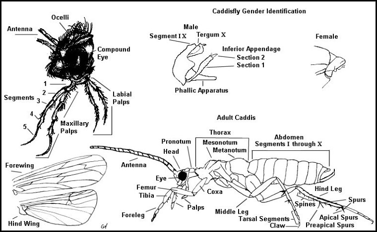 Upper Delaware River Insects Caddisfly Identification For Fly