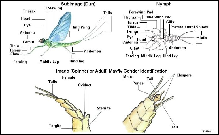 Upper Delaware River Insects Mayfly Identification For